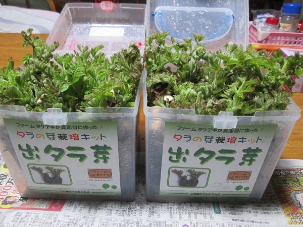 タラノメ 栽培